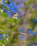 Great Lizard Cuckoo hiding in the thicket Stock Photo