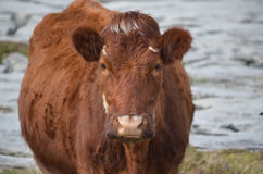 Great Looking Brown Cow in Ireland Stock Photo