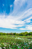 Great lotus pond landscape with blue sky horizon Royalty Free Stock Photography