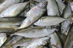 A great many silvery fresh sea fish on sale in the market of fishermen, shiny scales. Royalty Free Stock Photography