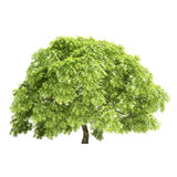 Great Maple Tree Isolated Stock Photo