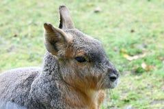 Great Mara (Dolichotis patagonum). The Great Pampashase or Great Mara (Dolichotis patagonum) is a rodent species living in Argentina Stock Photo