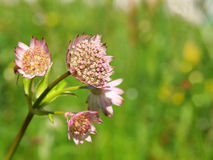 Great masterwort, Astrantia major Royalty Free Stock Image