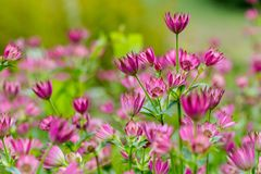 Great masterwort, Astrantia major. Meadow full of ultra violet f. Lowers head. Low angle perspective full frame background, selective focus on tallest in the Stock Photos