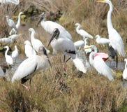 The great meeting. Wood Storks (Mycteria americana), Roseate Spoonbills (Platalea ajaja), Great Egrets (Ardea alba), and Snowy Egrets (Egretta thula) Stock Photo