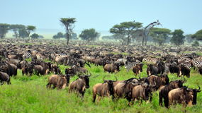 The Great Migration Royalty Free Stock Photography