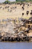 The Great Migration. Wildebeest and Zebra coming to drink from the Mara River Royalty Free Stock Images