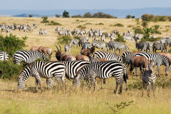 Great Migration. In Masai Mara National Park, Kenya Stock Photo