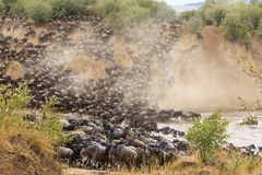 Great migration in Africa. Huge herds of herbivores. Mara River, Kenya. Africa stock photo