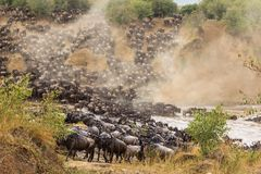Great migration in Africa. Huge herds of wildebeests cross the river. Masai Mara, Kenya royalty free stock photos