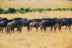 Great migration, african wildlife Royalty Free Stock Image