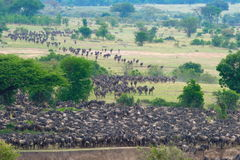The Great Migration. The annual wildebeest migration at the Mara River, Serengeti, Tanzania Stock Photos