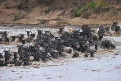 The Great Migration. The annual wildebeest migration at the Mara River, Serengeti, Tanzania Royalty Free Stock Image