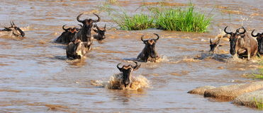 The Great Migration. The annual wildebeest migration at the Mara River, Serengeti, Tanzania Stock Photography