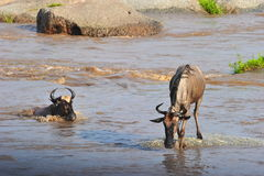 The Great Migration. The annual wildebeest migration at the Mara River, Serengeti, Tanzania Stock Image