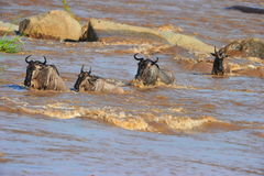 The Great Migration. The annual wildebeest migration at the Mara River, Serengeti, Tanzania Stock Images