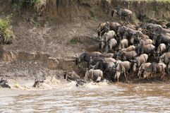 The Great Migration. The annual wildebeest migration at the Mara River, Serengeti, Tanzania Royalty Free Stock Photography