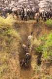 The great migration. On the bank of the river. Mara river, Africa Royalty Free Stock Photo