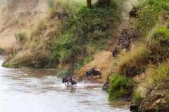 The great migration in full swing. Mara river. Africa Royalty Free Stock Photo