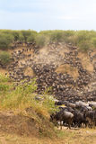 The great migration at the height. Africa. Kenya Royalty Free Stock Photography