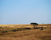Great Migration Stock Image