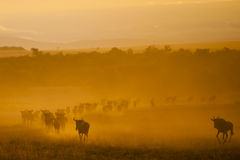 The Great Migration, Kenya. Wildebeest in the great migration, Kenya royalty free stock photo
