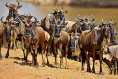 Great migration in Masai Mara Stock Photography