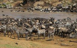 Great migration in Masai Mara Stock Photos