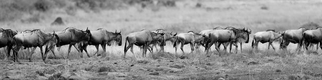 Great migration in Masai Mara Stock Images
