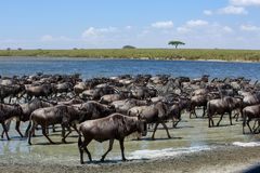 The Great Migration in the Serengeti. Africa`s Great Migration is the annual journey of two million wildebeest from the plains of the Serengeti in Tanzania to Stock Images