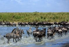 The Great Migration in the Serengeti - Wildebeest and Zebras. Africa`s Great Migration is the annual journey of two million wildebeest from the plains of the stock photo