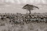 The Great Migration Royalty Free Stock Image