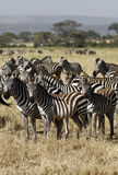 Great Migration Time Royalty Free Stock Image