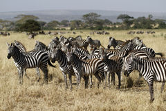Great Migration Time. Thousands of Burchells Zebra travel through Africa on the great migration Stock Photo
