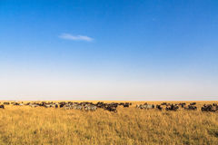 Great migration. In time. Kenya Stock Images