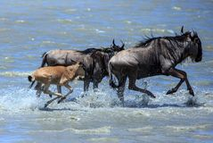 The Great Migration - Wildebeest with calf crossing the river royalty free stock images