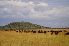 Great migration wildebeest. Wildebeest walking in a line through high grass during the great migration Stock Photography
