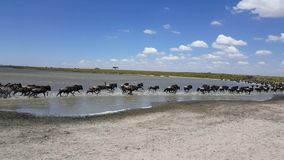 The great migration - Wildebeest and Zebras in the Serengeti