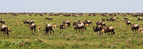 The Great Migration of Wildebeests in Serengeti. National Park, Tanzania stock photo