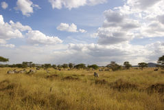 Great migration - zebras. Part of the great migration. Second wave: zebras in landscape with mountain. Upper part visible above dry grass landscape with some Royalty Free Stock Photography