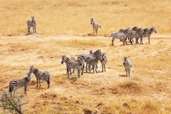 Great migration of zebras in Masai Mara, Africa Royalty Free Stock Image