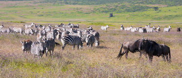 The Great Migration Royalty Free Stock Images
