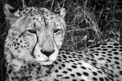 Cheetah in Kalhari Stock Image
