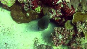 Great moray  Gymnothorax javanicus with cleaning fish in Red sea. Egypt stock video