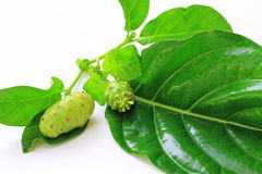 Great Morinda (Beach Mulberry) Royalty Free Stock Photo