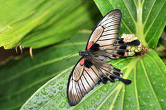 Great mormon butterfly. On a flower royalty free stock images
