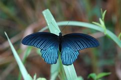 Great Mormon butterfly. Of Thailand background Royalty Free Stock Images