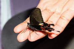 Great mormon butterfly Royalty Free Stock Photos