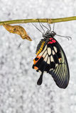 Great Mormon Butterfly Royalty Free Stock Photography