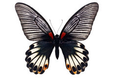 Free Great Mormon Butterfly Stock Photo - 46586020